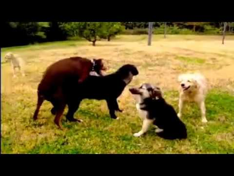 Parenja životinja s drugim životinja: Pas parenja smiješno