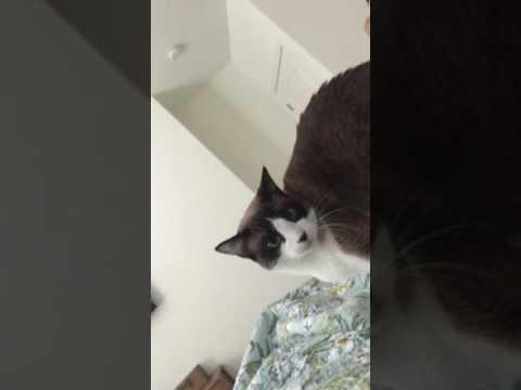 Snowshoe Cat 🐱 As An Alarm Clock ⏰