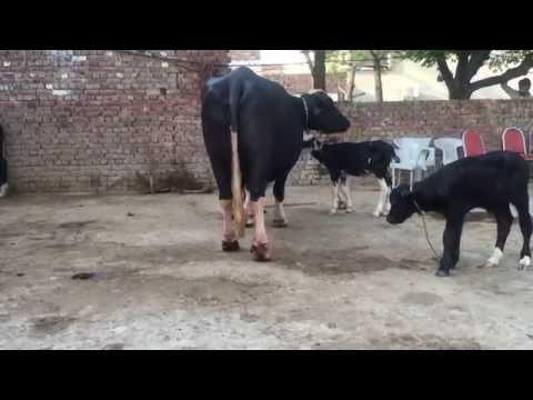Buffalo dery faram Gujrat Asif Nawaz Sahi