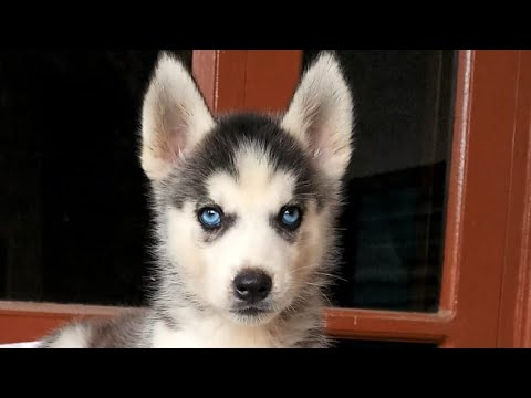 Siberian Husky Puppy 3 months old Fully Vaccinated for Sale in India. Pup Location Delhi.