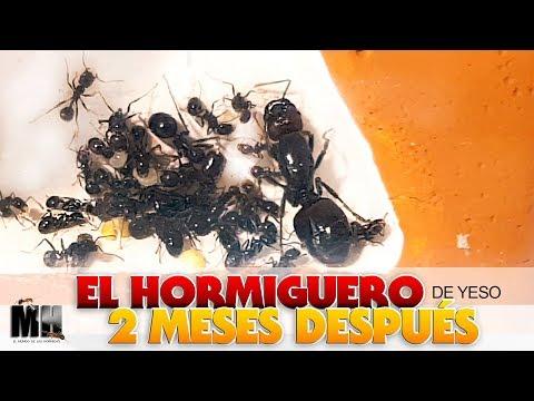 EL HORMIGUERO DE YESO POR DENTRO 2 MESES DESPUÉS | Hormigas Messor Barbarus