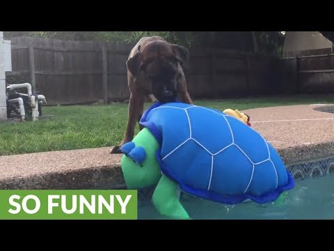"""Mastiff saves """"turtle"""" from drowning in pool"""