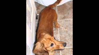 Adopted! Lokie - Adoptable Puppy From Oregon Dachshund Rescue, Inc.