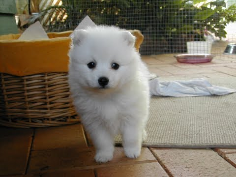Japanese Spitz / Dog Breed