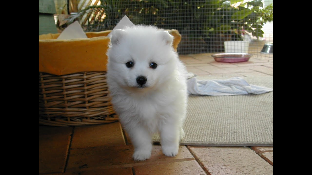 Japanese Spitz Dog Breed Youtube