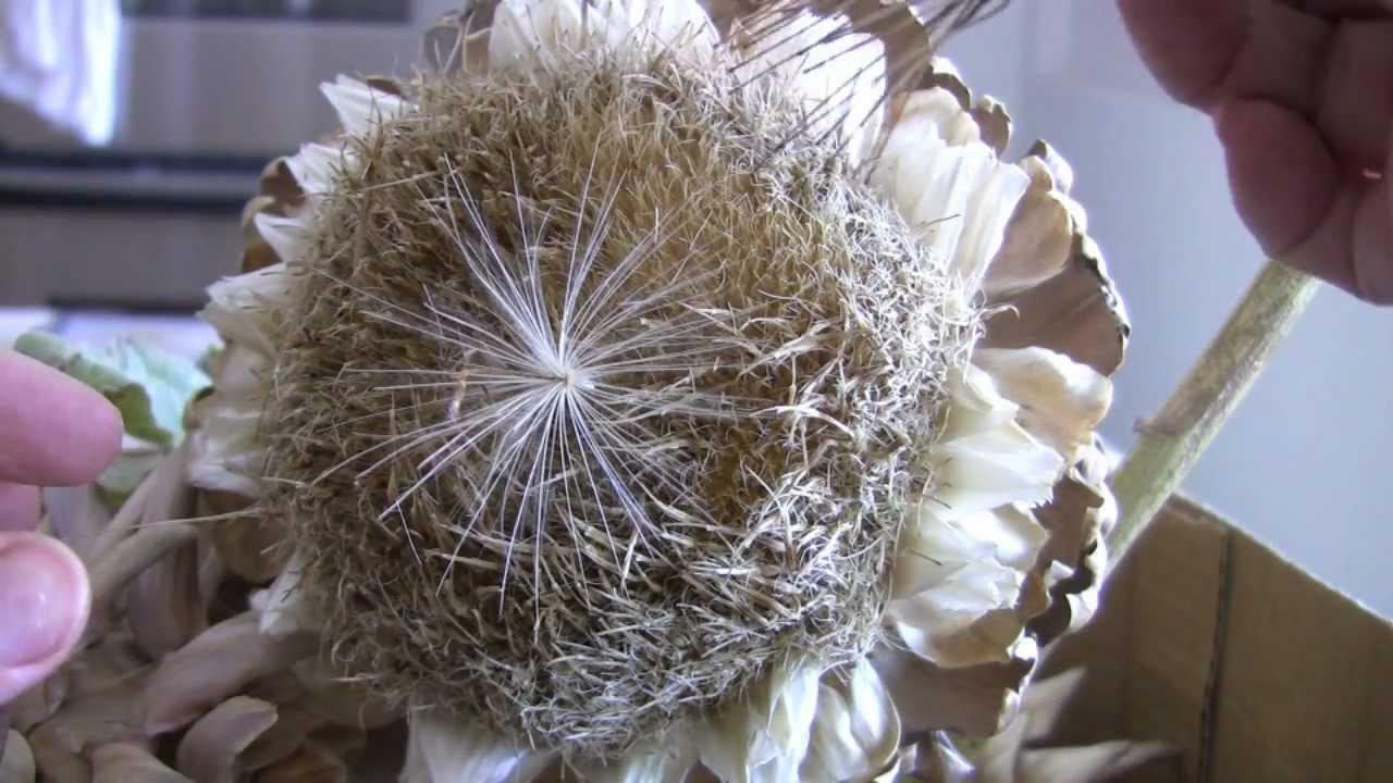 Collecting Artichoke Seeds - YouTube