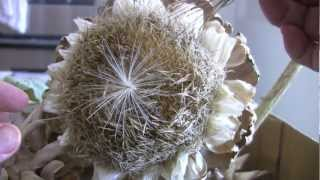 Collecting Artichoke Seeds