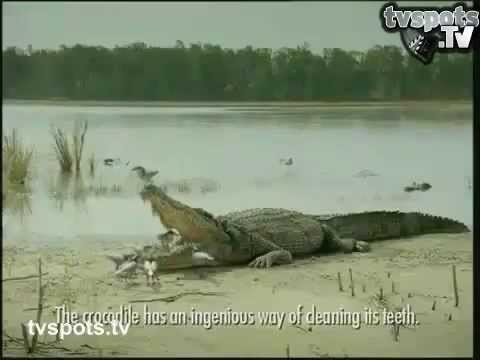 Birds Cleaning Crocodile's Mouth