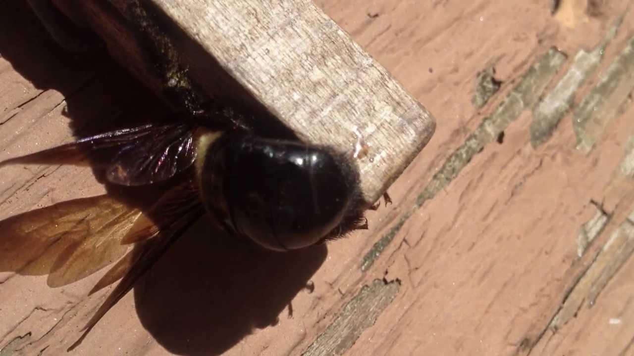 Carpenter Bee Stinger