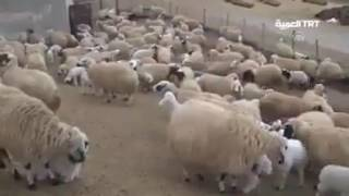 Lucu !!! Saat anak domba bertemu induknya