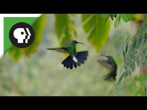Hummingbirds Battle in the Air