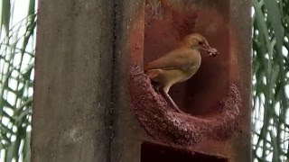 vuclip Couple of Birds engineers building their nest, Rufous Hornero, Birdie Engineering,