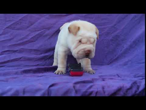 sharpei puppy Bullitt MVI 4683