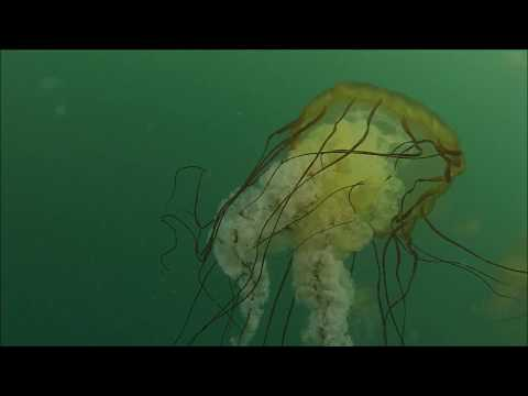 Scuba Diving With Jellyfish In Monterey, CA