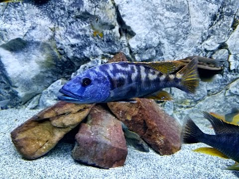 The Never-ending Challenge of an All Male Cichlid Tank