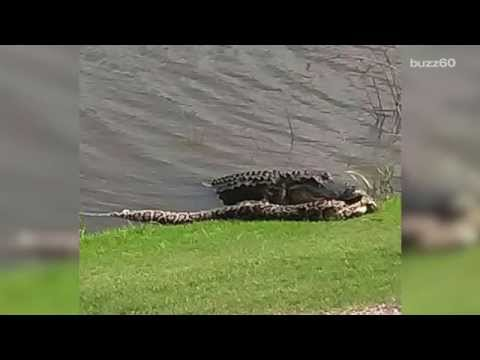 Alligator and python fight on Florida golf course