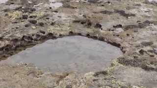 潮溜まり(タイドプール)にタコが泳いでいる! 和歌山釣太郎