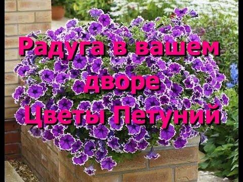 Ваш двор будет выглядеть радугой с цветами петуний. Цветы петуний, фото петуний