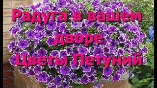 Ваш двор будет выглядеть радугой с цветами петуний. Цветы петуний, фото петуний(Петуния – красочные однолетние цветы со стелющимися побегами. В уличных вазонах, подвесных корзинках,..., 2014-09-02T08:14:08.000Z)