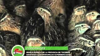 PATRICIO PALAVECINO Cría de Codornices en Tucumán - Parte 01