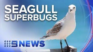 warning-aussie-seagulls-carrying-drug-resistant-superbugs-news-australia