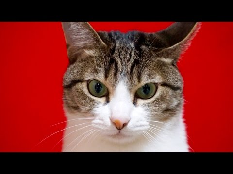 日本猫おはぎ
