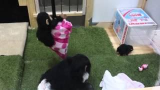2014年12月17日 のいち動物公園 チンパンジー・ミルキー1才(メス)。生...