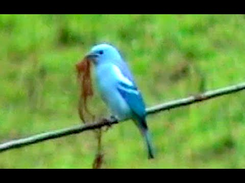 ③ Blue-gray Tanager Thraupis episcopus Bischofs-Tangare