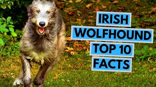 Irish Wolfhound  TOP 10 Interesting Facts