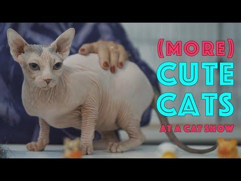 (More) Cute Cats at a Cat Show | TICA Cat Show