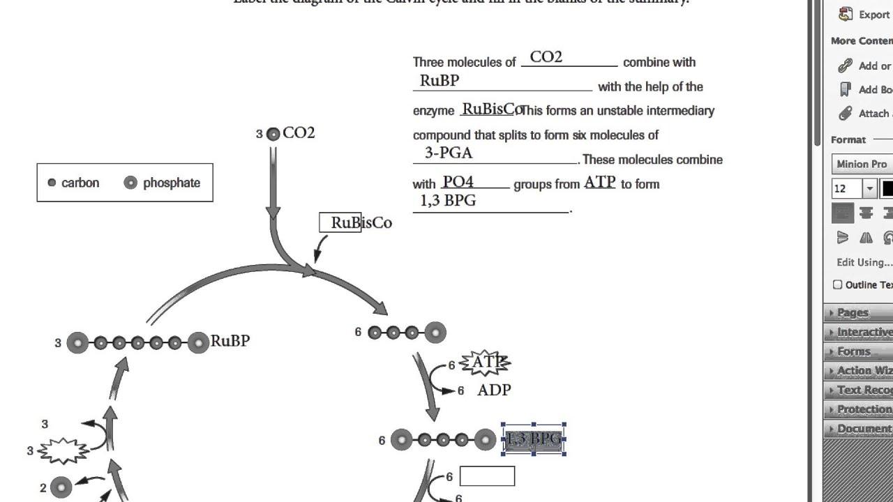 Calvin Cycle Worksheet 4