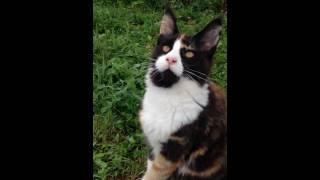 Кошка Мейнкун Ева