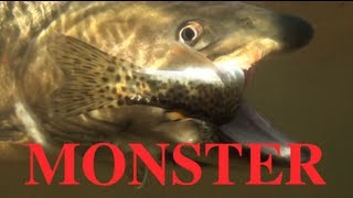 MASSIVE huge bull trout EATS cutthroat trout-TWO fish ONE cast!!!