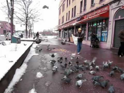 Feral pigeons in Hartford, Connecticut (01)