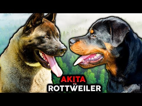 ROTTWEILER VS AKITA! The Best Guard Dog Breed For First Time Owners!?