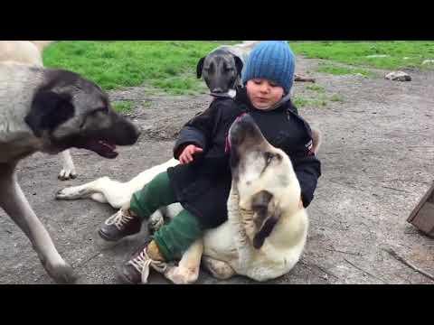 Top 10 Videos of Kangal Dog / Social Behaviour of Kangal