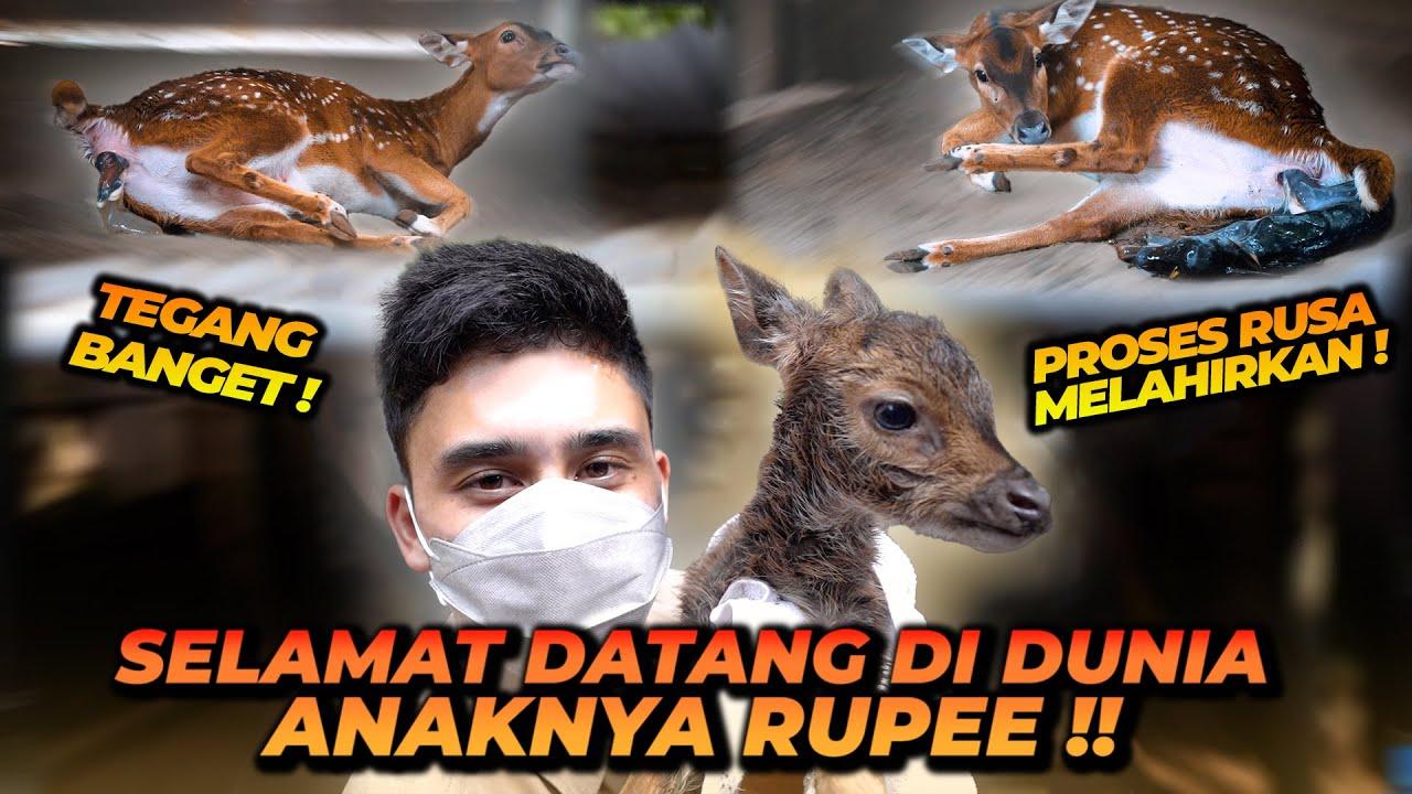 RUPEE LAHIRAN !! BEGINI PROSES RUSA MELAHIRKAN TEGANG BANGET !! AXIS DEER GIVING BIRTH !