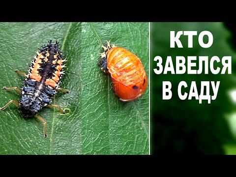 """Полезные насекомые киллеры  в саду    Берегите этого  """"зверя"""""""