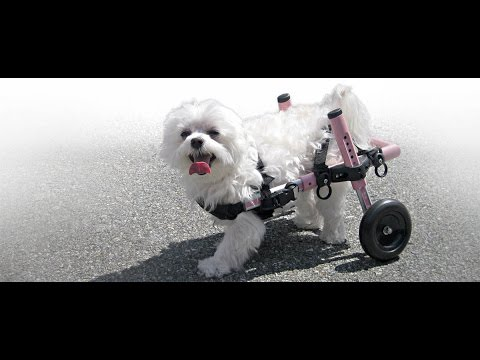 walkin wheels small dog wheelchair youtube