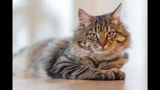 Кошка, гулявшая сама по себе (Р. Киплинг )