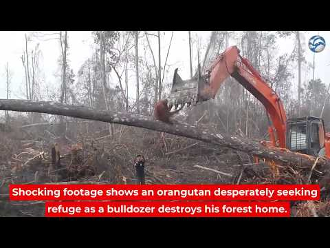 An Orangutan attacks a bulldozer destroying its forest on Borneo Island 2018
