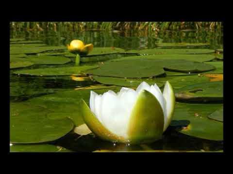 белая водяная лилия- кувшинка. Кубышка жёлтая водяная лилия в пищу