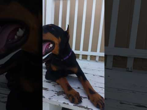 Capo the doberman after peeing inside the house