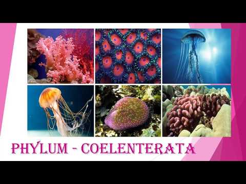a description of cnidaria a phylum containing some 11000 species of simple animals found exclusively Cnidaria (pronounced with a silent c) is a phylum containing some 11,000 species of relatively simple invertebrate animals found exclusively in the name of the phylum comes from cnidocytes, which are specialized cells that carry stinging organelles the names coelenterata and coelentera.