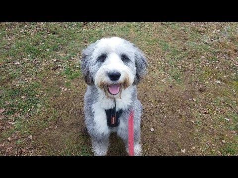 Moose - Old English Sheepdog - 3 Weeks Residential Dog Training