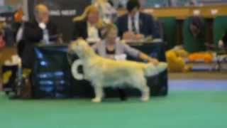 Golden Retriever - Bitches - Crufts 2015