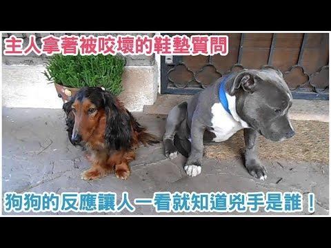 笑死!主人拿着被咬坏的鞋垫质问 两只狗狗截然不同的反应让人一看就知道谁是凶手