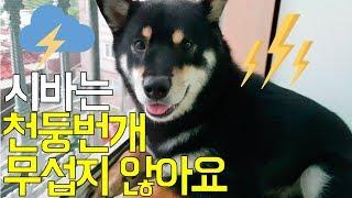 시바견(shibainu)_곰탱이(Gomu0026Taeng)_천둥번개 무서워하지 않는 용감한 강아지