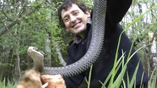 Матерая гадюка и ее семейство((из общения вКонтакте) С.Е.: Я бы хотел найти Королевскую кобру и сетчатого питона-людоеда. У Остина Стивенса..., 2013-05-19T07:50:43.000Z)