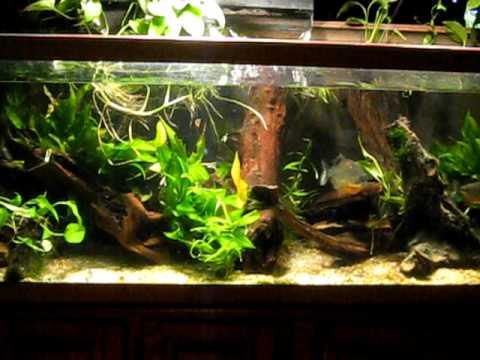 Planted Red Belly Piranha Tank